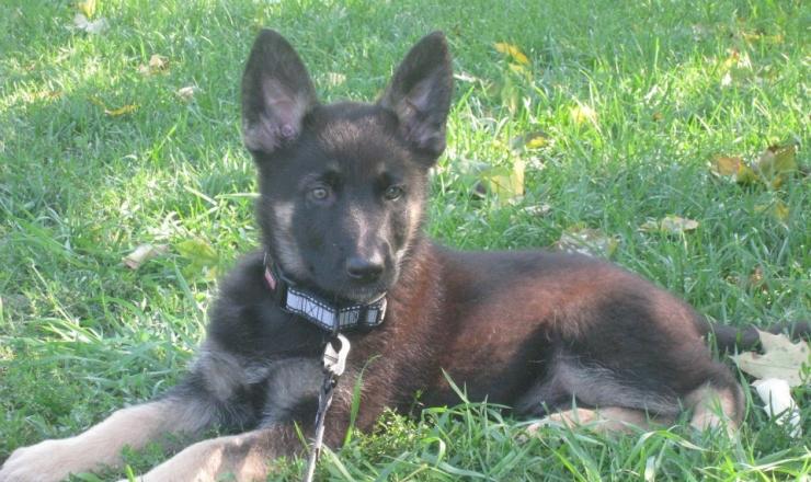 GSD-Puppy